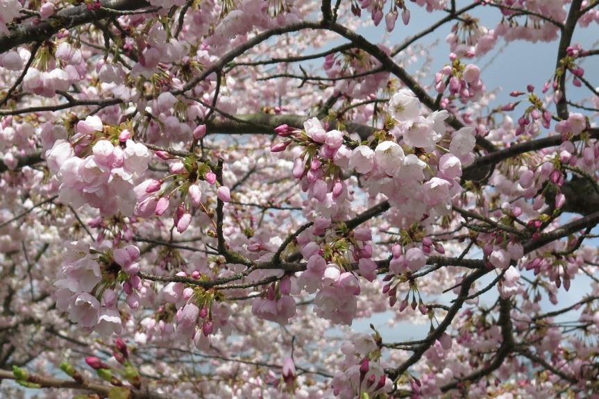 Cherry Blossoms: A Textile Translation2018