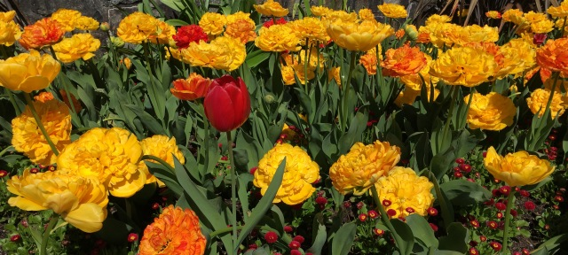 tulips Dundarave April 2018 1_edited-1